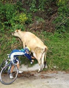 Fahrradfahrer-Kuh-Melken